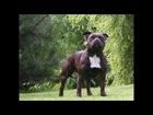 Top 20 Most popular dog breeds (KCGB)