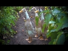 Fawn and White Indian Runner Ducks | Farm Raised With P. Allen Smith