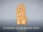 Evolution of the human hand