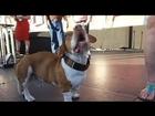 7News - Beagle-boxer-basset wins ugly dog comp