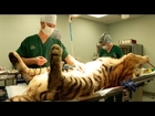 Tiger Surgery - Big Cat Rescue